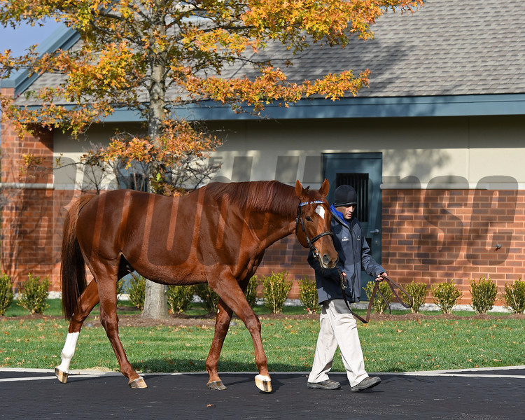 Caption: Animal Kingdom<br /> Godolphin stallions at Jonabell near Lexington, Ky., on Dec. 2, 2016.