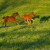 Caption: foals running, l-r,  bay colt by Congrats out of Silent Ronin (nickname Bruiser) with Air Force Blue chestnut filly out of JJ's Classic (nicknamed Red Peach)<br /> Mares and foals at Pisgah Farm near Versailles, Ky., on May 1, 2020 PIsgah Farm in Versailles, KY.