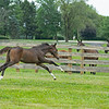 Caption: 2020 Tapit out of Hollywood Story filly<br /> Hollywood Story at Starwood Farm near Versailles, Ky., on June 30, 2020 Starwood Farm in Versailles, KY.