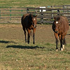 (L-R): Stormy Liberal and Patch walking in their paddock. <br /> Old Friends near Georgetown, Ky., on Dec. 11, 2020.
