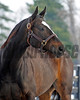 Caption: <br /> Zenyatta goes out to her paddock on December 20, 2010, at Lane's End Farm near Versailles, Ky.<br /> ZenyattaDec2010 Origs 3 image483<br /> Photo by Anne M. Eberhardt