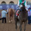 Arrogate after the Breeders Cup Classic on November 4, 2017. Photo by Skip Dickstein