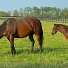 Caption: Hassler and 2020 Violence colt<br /> Mares, foals, yearlings, scenes at Ashview Farm near Versailles, Ky., on April 28, 2020 Ashview Farm in Versailles, KY.