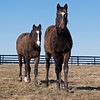 Yearling buddies. <br /> Scenes at Blue Heaven Farm near Versailles, Ky. on Feb. 23, 2021.