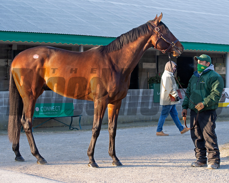 Hip 1568 Country Grammer waiting to show during the Pompa dispersal through Lane's End.<br /> Keeneland January Sales at Keeneland near Lexington, Ky., on Jan. 13, 2021.