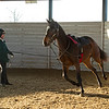 A yearling schools in a round pen at Jim and Susan Hill's Margaux Farm near Midway, Ky., on Dec. 8, 2020.