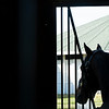 Into Mischief looking out the back window of his stall as visitors look over other stallions at Spendthrift Farm near Lexington, Ky. on November 18, 2020.