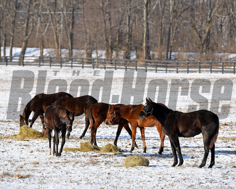 Eating hay.<br /> Winter scenes with yearlings at Heaven Trees Farm near Lexington, Ky., on Jan. 7, 2017.