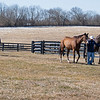 Mares coming in from their fields. <br /> Scenes at Blue Heaven Farm near Versailles, Ky. on Feb. 23, 2021.