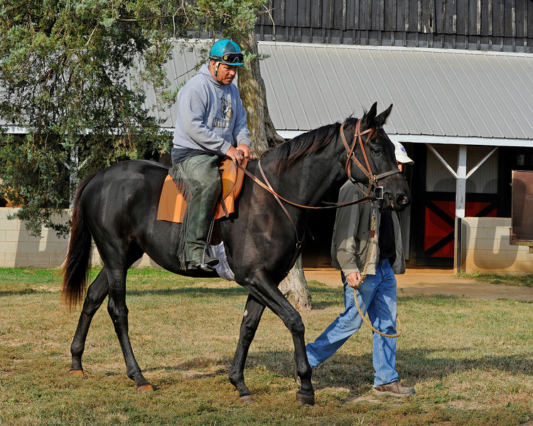 1886Caption: <br /> Eblouissante, shown as a  yearling at Don Robinson's Winter Quarter Farm near Lexington, Ky. September 2010. by Bernardini and out of the mare Vertigineux, Eblouissante is a half sister to stakes winners Balance and Zenyatta and now is in training with John Shirreffs.<br /> Photo by Anne M. Eberhardt