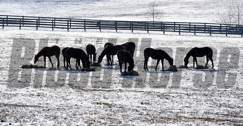 Yearlings eat hay.<br /> Winter scenes with yearlings at Heaven Trees Farm near Lexington, Ky., on Jan. 7, 2017.