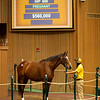 Hip 600 Dothraki Sea from Claiborne<br /> Sales horses at the Keeneland November Sale at Keeneland in Lexington, Ky. on November 10, 2020.
