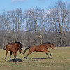 (L-R): Serena's Song and one of her ield mates, Circulation, have a run.<br /> Conrad Bandoroff and Serena's Song at Denali Stud near Paris, Ky on Jan. 21, 2021.