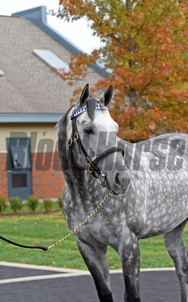 Caption: Frosted<br /> Godolphin stallions at Jonabell near Lexington, Ky., on Dec. 2, 2016.