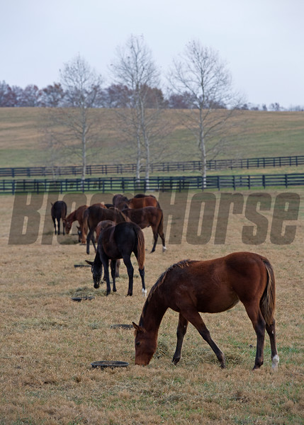 Feed time for the yearlings at Heaven Trees Farm near Lexington, Ky., on Nov. 27, 2016.<br /> <br /> Caption:<br /> Gun Runner with Florent Geroux wins Clark Handicap (gr. I) on Nov. 25, 2016, at Churchill Downs.