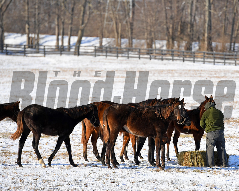 Yearlings get hay.<br /> Winter scenes with yearlings at Heaven Trees Farm near Lexington, Ky., on Jan. 7, 2017.