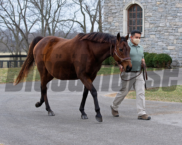 walking with handler Osvin Figueroa<br /> Bubbler owned by Clearsky and Hill 'n' Dale is at a division of the Cleary family's Clearsky Farm near Midway, Ky. on March 11, 2021.