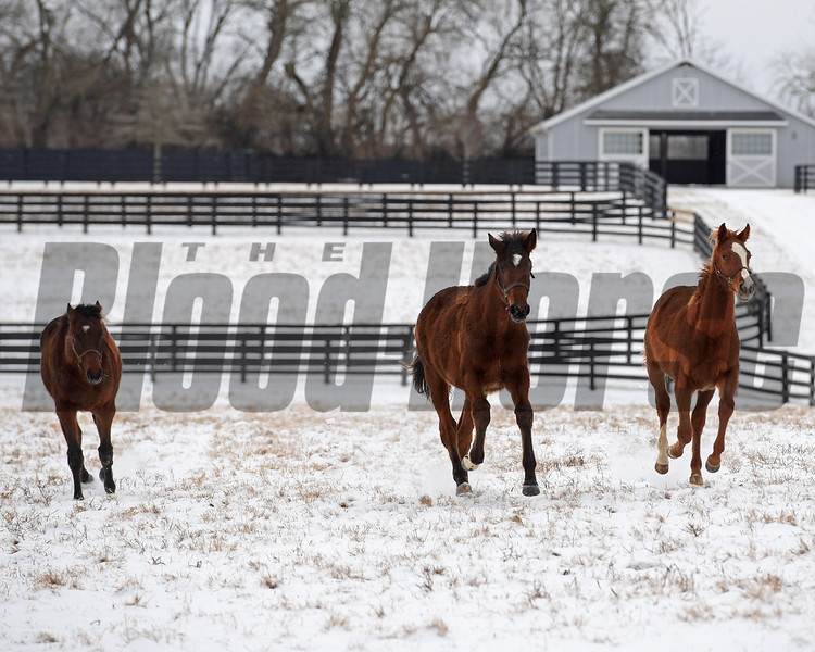 Yearlings at Ashview Farm in Versailles, Ky. on Jan. 13, 2018