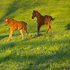 Caption: l-r, foals running are Air Force Blue chestnut filly out of JJ's Classic (nicknamed Red Peach)<br /> and bay colt by Congrats out of Silent Ronin (nickname Bruiser) Mares and foals at Pisgah Farm near Versailles, Ky., on May 1, 2020 PIsgah Farm in Versailles, KY.