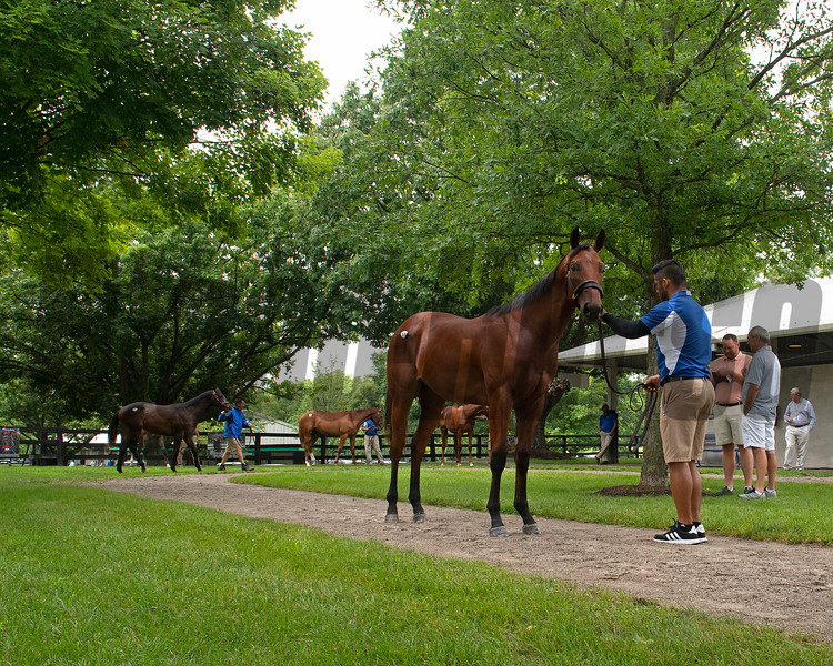 Hip 139 colt by Bernardini out of Dancing Anna at Paramount being shown while others queue in background. Scenes, people and horses at The July Sale at Fasig-Tipton near Lexington, Ky. on July 10, 2021.