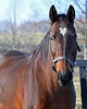 mare Sacre Coeur, in foal to American Pharoah and dam of Lady Eli. Brutus and Catesby Clay at Runnymede farm on Dec. 8, 2016, in Cynthiana, Ky.