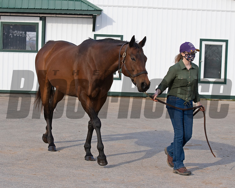 walking to her paddock<br /> Drumette owned by Bridlewood is in Kentucky to be bred to Tapit and resides at a division of Gunston Hall on March 9, 2021.