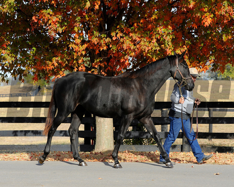 845Caption: <br /> Eblouissante, shown as a  yearling at Don Robinson's Winter Quarter Farm near Lexington, Ky. September 2010. by Bernardini and out of the mare Vertigineux, Eblouissante is a half sister to stakes winners Balance and Zenyatta and now is in training with John Shirreffs.<br /> Photo by Anne M. Eberhardt