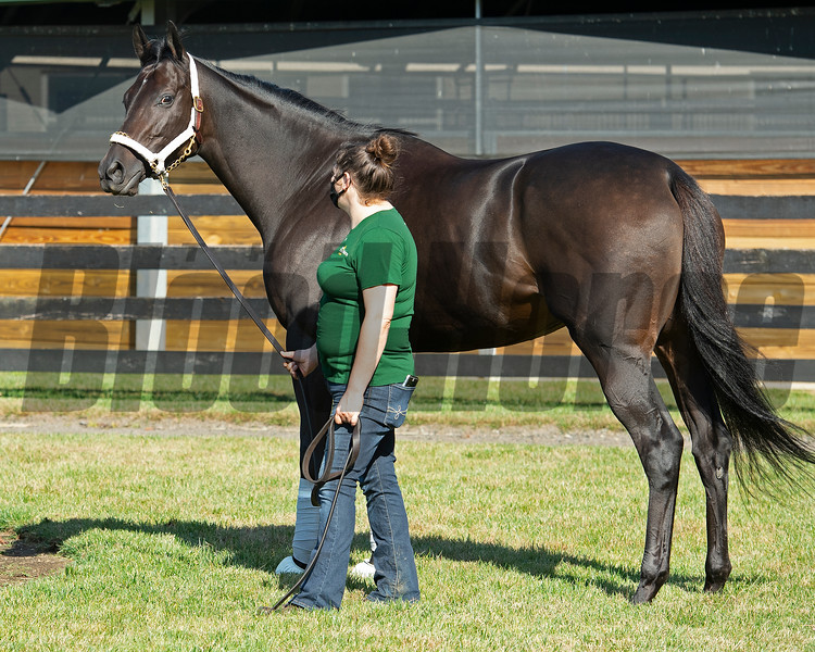 Midnight Bisou going through her routine as she prepares for the Fasig-Tipton Kentucky November sale at WinStar Farm in Versailles, Ky. on October 23, 2020. Photo: Anne M. Eberhardt