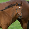 Caption: Mastery o/o Why Not More colt<br /> Mares, foals, yearlings, scenes at Ashview Farm near Versailles, Ky., on April 28, 2020 Ashview Farm in Versailles, KY.