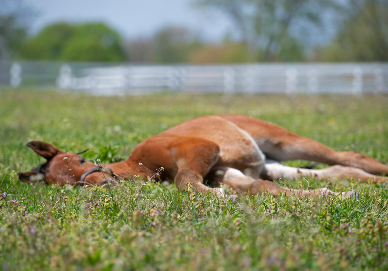 Caption: Asleep/dreamy. foal purposely out of focus, while foreground/grass in the focus.  filly born 3/2/20 by City of Light from the mare Sacred Luna<br /> Rob Tillyer and Dixiana Farm scenes near Lexington, Ky.,  on April 18, 2020 Dixiana in Lexington, KY.