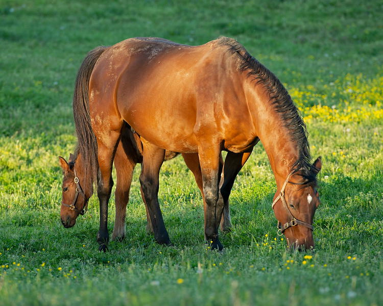 Caption: Silent Ronin with bay colt by Congrats (colt nickname is Bruiser)<br /> Mares and foals at Pisgah Farm near Versailles, Ky., on May 1, 2020 PIsgah Farm in Versailles, KY.