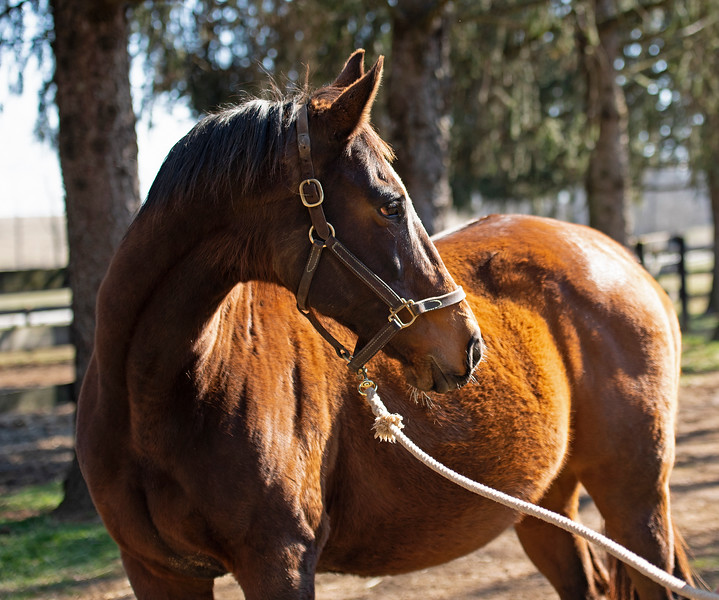 Claire Soleil  in foal to Mendelssohn at Ashleigh Stud on<br /> Feb. 22, 2020 Ashleigh Stud in Paris, KY.