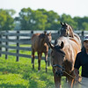 Caption: handwalking yearlings, in order, front to back, fillies by Gun Runner from High Authority, American Pharoah from Easy Living, and Malibu Moon from Grand Traverse<br /> Aidan and Leah O'Meara at Stonehaven Steadings near Versailles, Ky. on Aug. 7, 2020 Stonehaven Steadings in Versailles, KY.