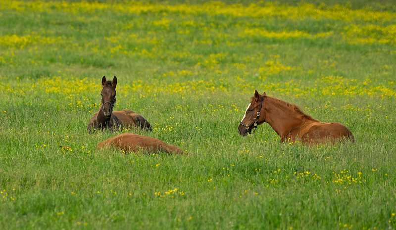 Caption: (L-R): Croon20 and her Cross Traffic filly, Sweet Diva 20 and her Free Drop Billy filly, and who knows? is flat out.<br /> Mares and foals on Heaven Trees Farm near Lexington, Ky., on May 22, 2020 Heaven Trees in Lexington, KY.