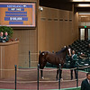 Hip 1402 Electricita from Sam-Son<br /> Keeneland January Horses of all ages sales on<br /> Jan. 16, 2020 Keeneland in Lexington, KY.