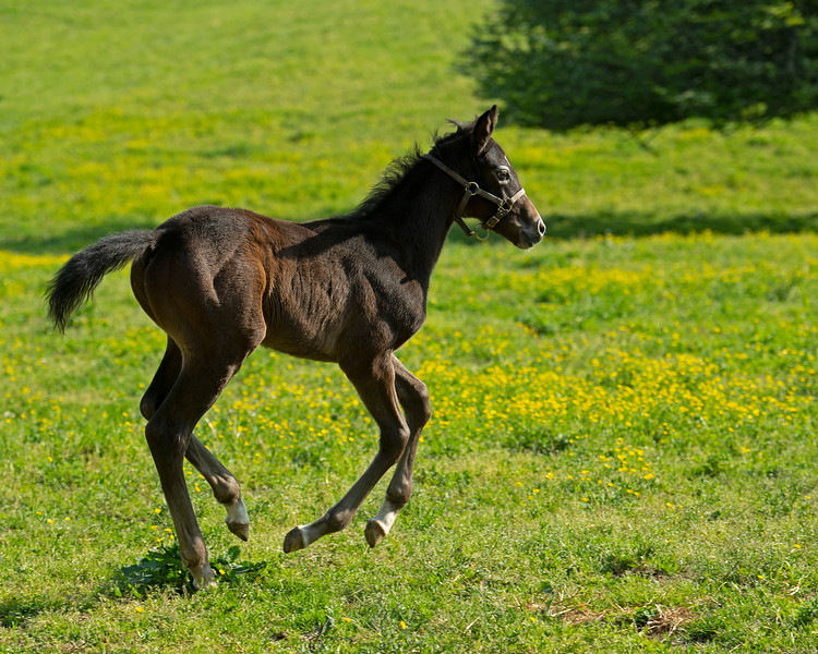 Caption: 2020 Colt by Free Drop Billy out of Blessed Immaculate<br /> Mares and foals on Pisgah Farm near Versailles, Ky., on May 2, 2020 Pisgah Farm in Versailles, KY.
