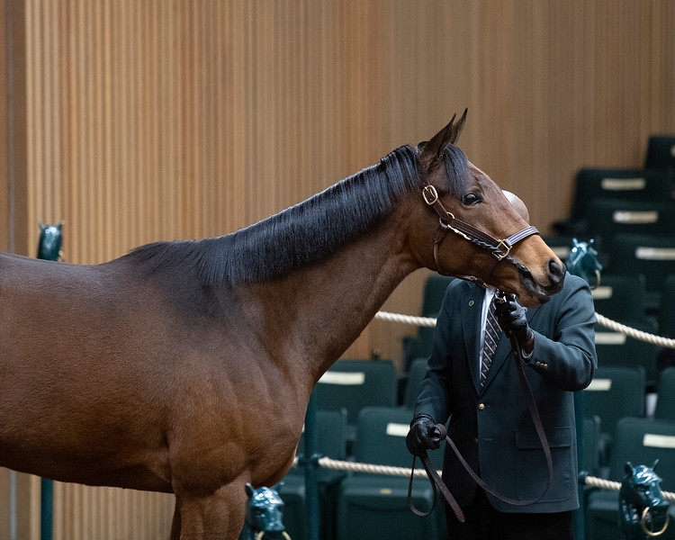 Hip 1809 Cullum Road from Bluewater Sales<br /> Keeneland January Horses of all ages sales on<br /> Jan. 17, 2020 Keeneland in Lexington, KY.