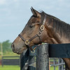 Caption: Street Sense colt out of Rigorously, dam is half to Judy the Beauty and sells in Keeneland September book 2.<br /> Aidan and Leah O'Meara at Stonehaven Steadings near Versailles, Ky. on Aug. 7, 2020