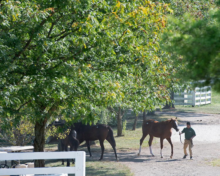 Scene with Lane's End yearlings<br /> at the Keeneland September Sale.