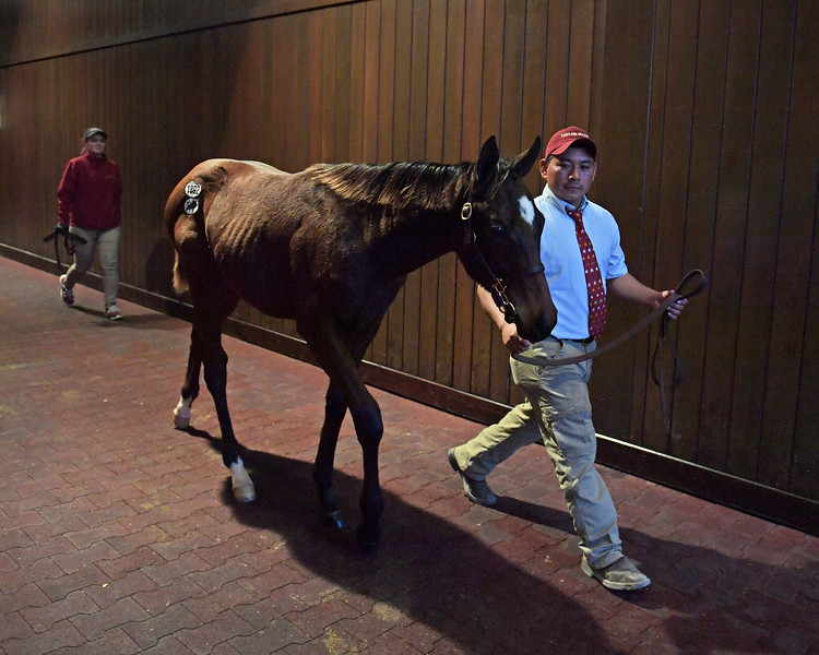 Hip 1892 colt by Twirling Candy from Giant Win<br /> on  Nov. 10, 2019 Keeneland in Lexington, KY.