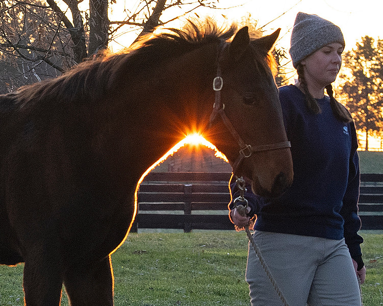 Weanling walking in at sunrise at<br /> Pin Oak Stud<br /> at  Nov. 8, 2019 Pin Oak Stud in Versailles, KY.