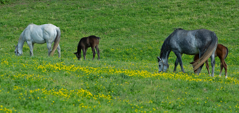 Caption: l-r, Blessed Immaculate with 2020 Colt by Free Drop Billy and Secondhand with 2020 Get Stormy colt<br /> Mares and foals on Pisgah Farm near Versailles, Ky., on May 2, 2020 Pisgah Farm in Versailles, KY.