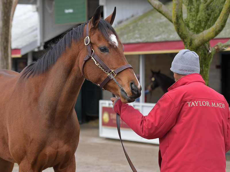 Hip 1054 Folk Legend at Taylor Made.<br /> Keeneland January Horses of all ages sales on<br /> Jan. 14, 2020 Keeneland in Lexington, KY.