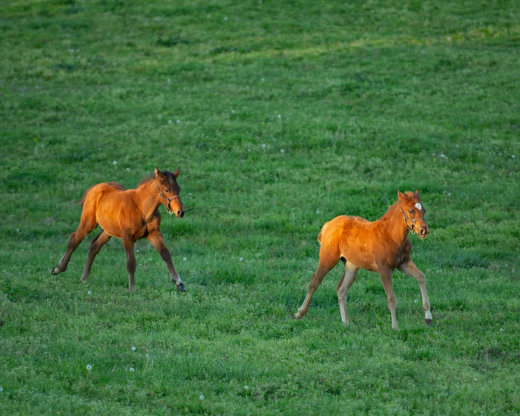 Caption: l-r, bay colt by Congrats out of Silent Ronin and chestnut filly. by Air Force Blue out of JJ's Classic nicknamed Red Peach<br /> Mares and foals at Pisgah Farm near Versailles, Ky., on May 1, 2020 PIsgah Farm in Versailles, KY.