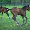 Caption: (front right) , Blame colt out of Shesakitty foreground with Funtastic filly out of Gracious Sakes on left. <br /> Mares and foals on Heaven Trees Farm near Lexington, Ky., on May 21, 2020 Heaven Trees in Lexington, KY.