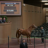 Hip 1729 colt by California Chrome outof Our Biggest Fan<br /> at Keeneland.