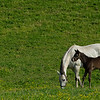 Caption: Light gray is Blessed Immaculate, colt by Free Drop Billy<br /> Mares and foals on Pisgah Farm near Versailles, Ky., on May 2, 2020 Pisgah Farm in Versailles, KY.