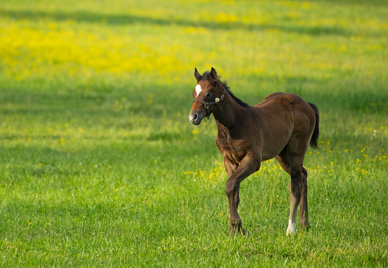 Caption: Blame out of Shesakitty Colt<br /> Mares and foals on Heaven Trees Farm near Lexington, Ky., on May 22, 2020 Heaven Trees in Lexington, KY.