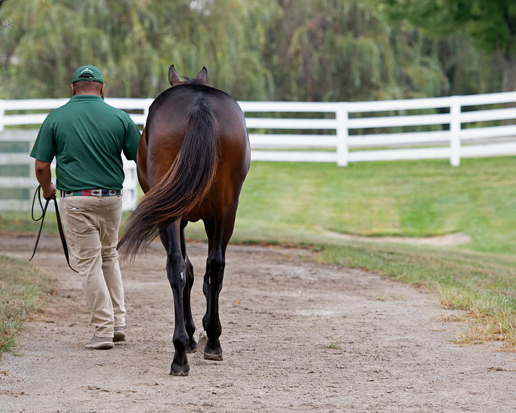 Yearling walking<br /> at the Keeneland September Sale.