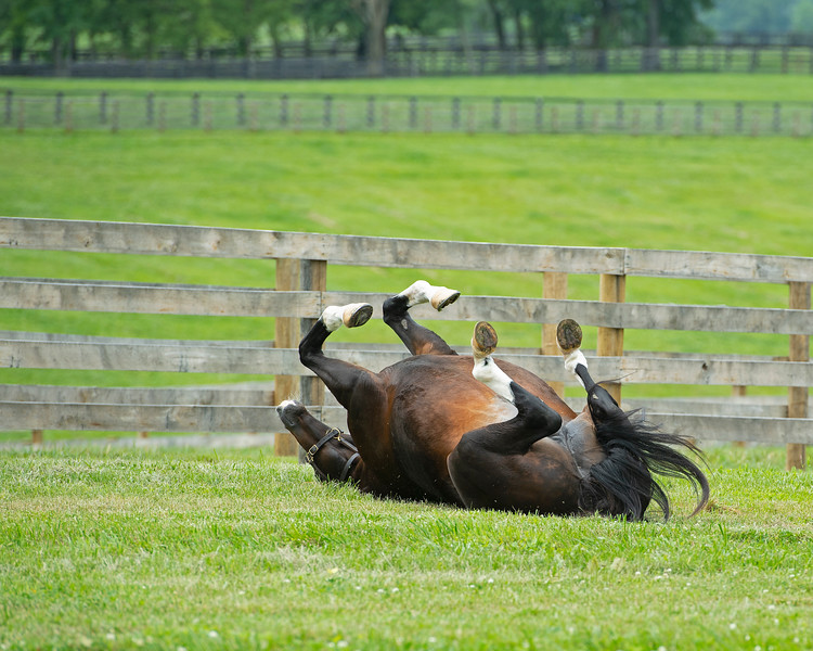Caption: rolling in her paddock<br /> Hollywood Story in foal to Justify at Starwood Farm near Versailles, Ky., on June 30, 2020 Starwood Farm in Versailles, KY.